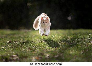 maine coon cat running towards camera outdoors in sunlight
