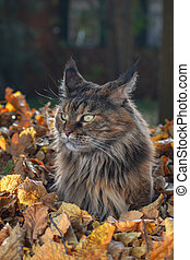 Maine Coon cat sitting in pile of yellow autumn leaves