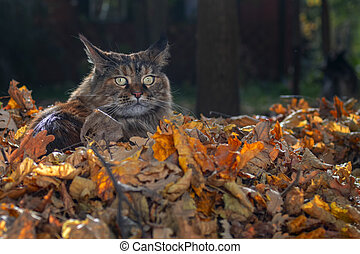 Maine Coon cat sitting in pile of yellow autumn leaves, sunny day