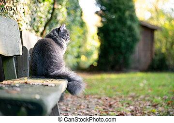 maine coon cat sitting on bench in garden