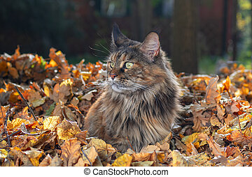 Maine Coon cat sitting on pile of yellow autumn leaves, sunny day