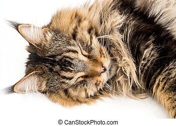 Maine Coon Cat Sleeping on White Background