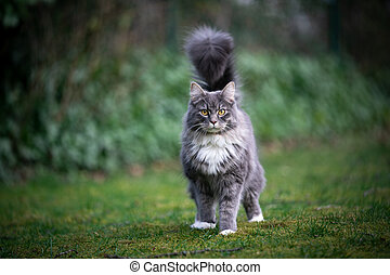 maine coon cat with fluffy tail