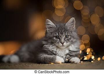 maine coon kitten christmas lights portrait
