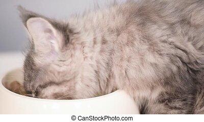 Maine coon kitten - Cute gray kitten feeding from bowl at...