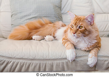 Maine Coon Kitten laying  on the sofa