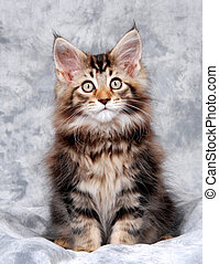 Maine Coon Kitten - Portrait of a Maine Coon kitten, classic...
