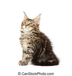 maine coon kitten - maine coon cat against white background