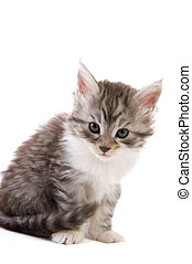 Maine Coon kitten isolated over white