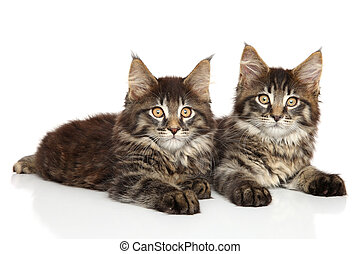 Maine Coon kittens lying on white background
