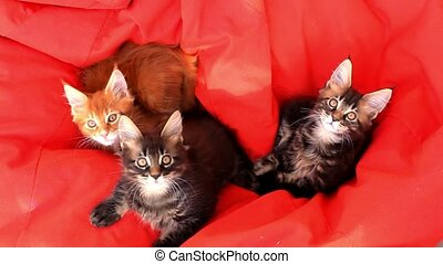 Maine Coon kittens on red couch sofa. 1920x1080