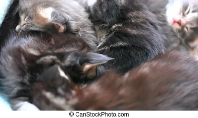 Maine Coon kittens play together. 1920x1080