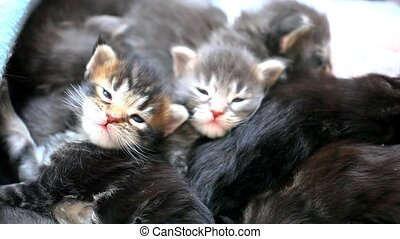 Maine Coon kittens play together