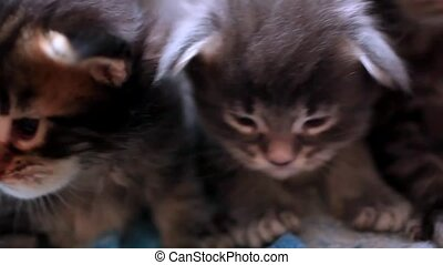 Maine Coon kittens sitting in a line together