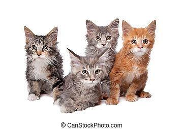 Maine Coon kittens in front of a white background