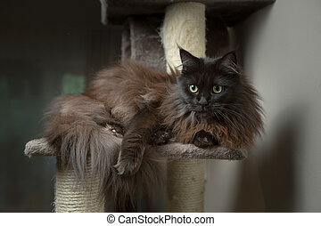 Maine Coon lying in cat house
