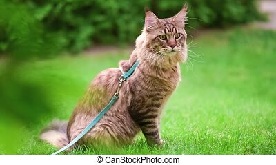 Maine Coon on grass in garden