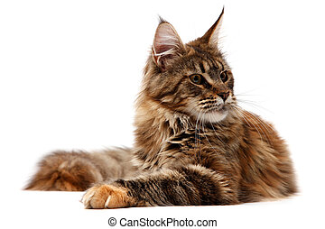 Maine Coon on white background