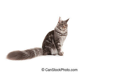 Maine coon sitting on a white background