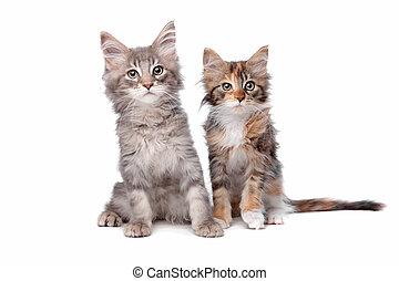maine, nègre, chatons