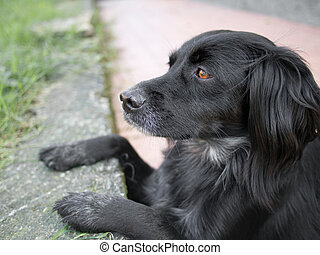 mainly, cachorro preto, observar, lizards., setter, cross.