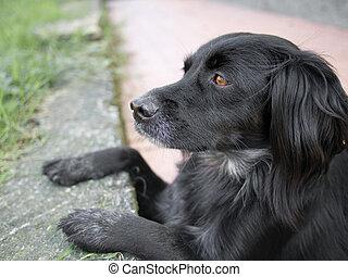 mainly, zwarte hond, schouwend, lizards., setter, cross.