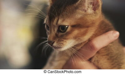 mains, abyssinian, séance, chaton