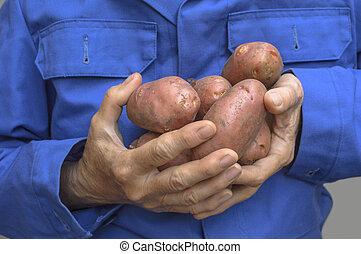mains, femme, tenue, pomme terre