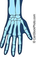 mains, main, main., os, bras, structure, anatomie, humain, ...