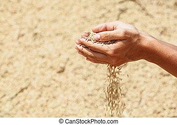 mains, poignée, unmilled, riz, rugueux, grains, humain