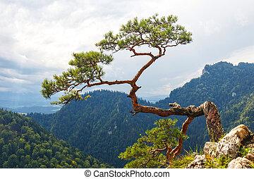 maioria, polônia, árvore, famosos, pinho, pieniny, montanhas
