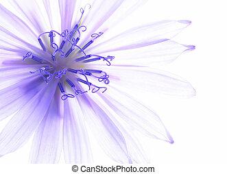 mais blu, fiore