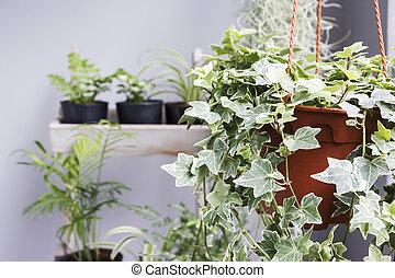images photos de lierre anglais 517 photos et images libres de droits de lierre anglais. Black Bedroom Furniture Sets. Home Design Ideas