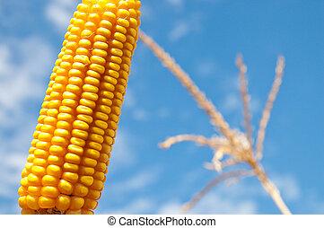 maize close up under cloudy sky