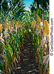 Maize Crop - The maize is one known cultivated cereal to a...