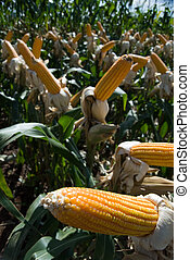 The maize is one known cultivated cereal to a large extent of the world. The maize extensively is used as human food or animal ration, had to its nutricionals qualities.