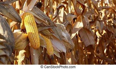 Maize ear on stalk in corn field - Harvest ready maize ear...