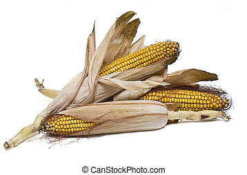 Maize ears isolated over white. - Still life about ...