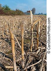maize field in winter