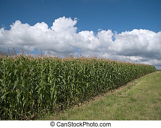 Maize - Field of crops almost ready for harvest