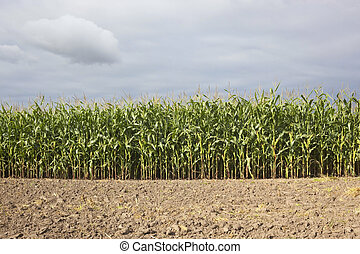 maize field with soil - a maize field with plowed soil in ...