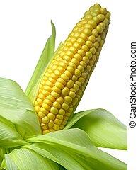 Maize - Image of a corn cob
