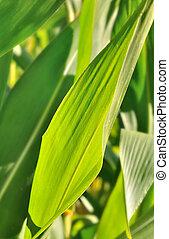 maize leaves  - maize verdant leaves  under the sun