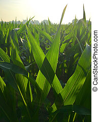 Maize on field in the morning sunlight