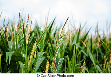 Maize on the field with blue sky in the background