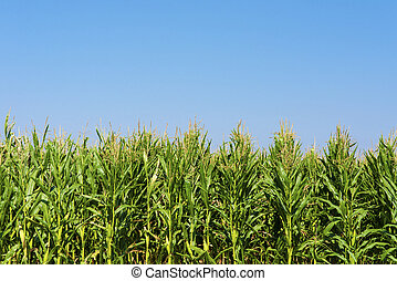 Corn or maize field during summer growing up on blue sky.