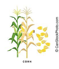 Maize plant and corn cereal grains - vector botanical ...
