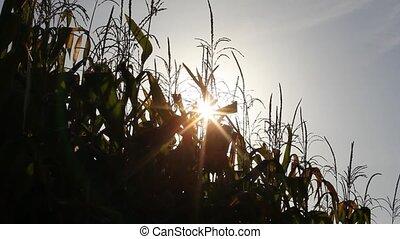 Maize plants against a blue sky