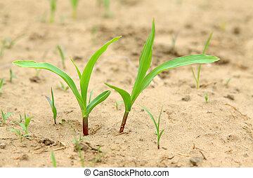 Maize seedlings in the field