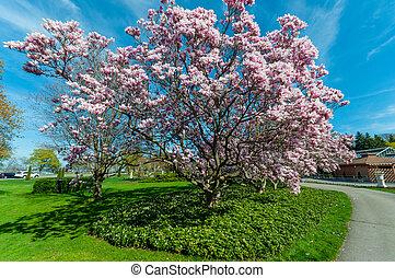 maj, magnolia, niagara, träd, nedgångar